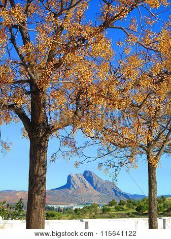 Buttonball Tree In Sunshine