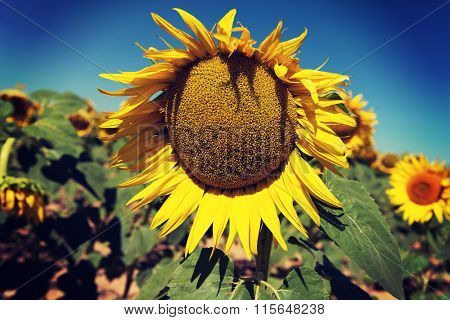 Landscape of sunflower field at summer sunny day