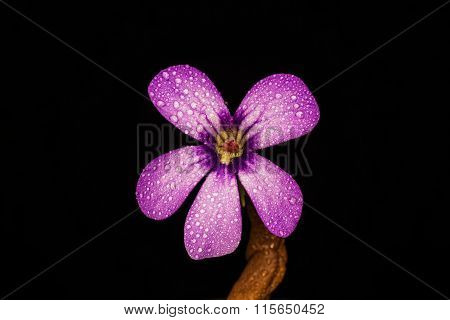 Flower Of Carnivorous Plant Pinguicula