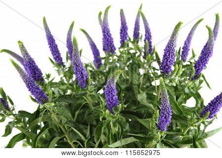 Purple flowers Veronica
