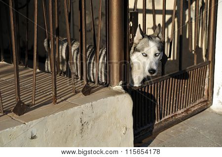 Husky looking out of the iron fence on the street