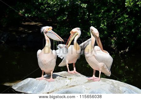 Pelicans After Eating