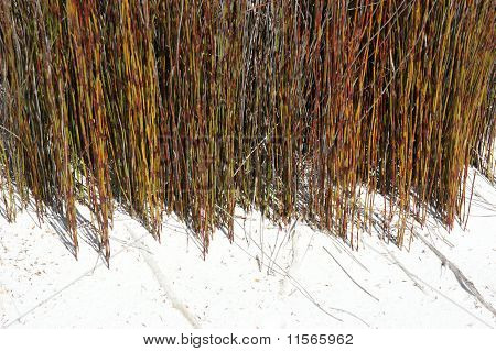 Reeds In Pure White Sand