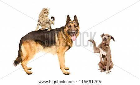 German shepherd, cat and pitbull puppy together