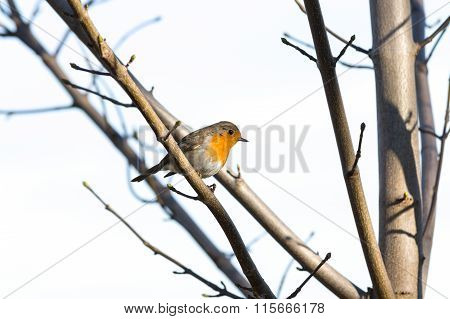 European Robin Redbreast - erithacus rubecula melophilus
