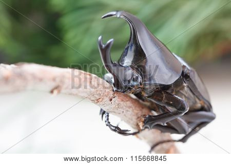 Dynastinae Or Rhinoceros Beetles