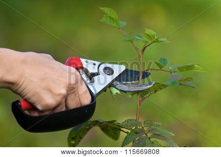 Hand Pruning Rose