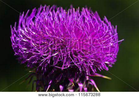 Close-up of wild purple flower on mediterranean sun