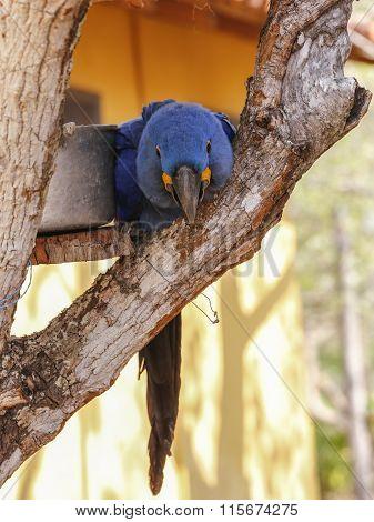 A sick hyacinth Macaw