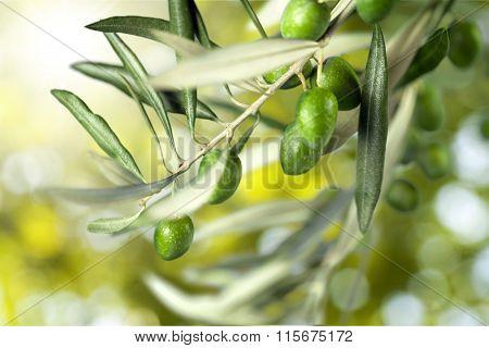 Olive Tree.