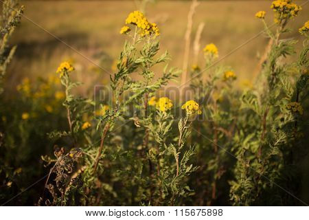 Flowers of the tansy in field