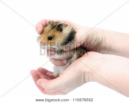 Brown Syrian Hamster With Filled Cheeks In Hands