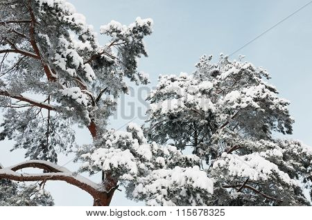 Beautiful Frozen Pine Tree In Winter Forest.