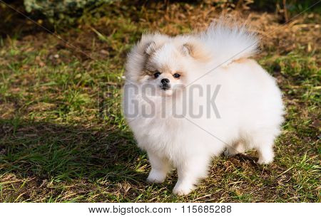 Spitz, Pomeranian left.