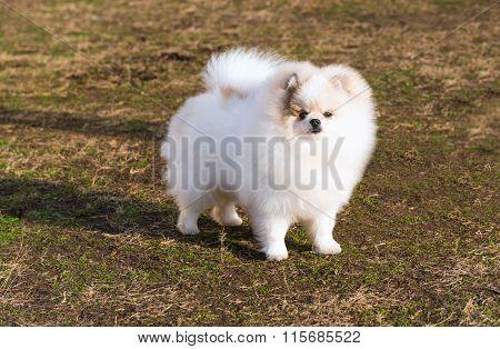 Spitz, Pomeranian right.