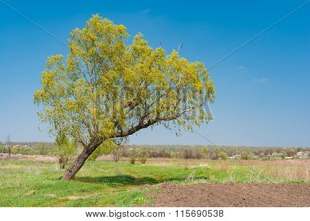 Lonely lop-sided willow at riverside at spring season