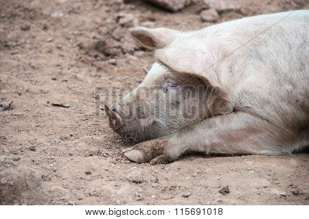 Side view of a sleeping pig