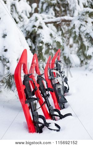 Snowshoes standing in the snow near the spruce.