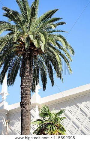 Tall Green Palms