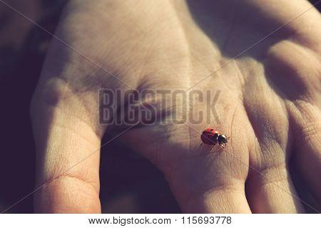 Ladybug In Human Hand At Sunset Closeup