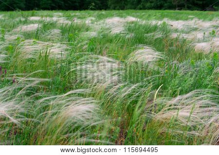 Feather Grass, Mat Grass. Swaying In The Wind