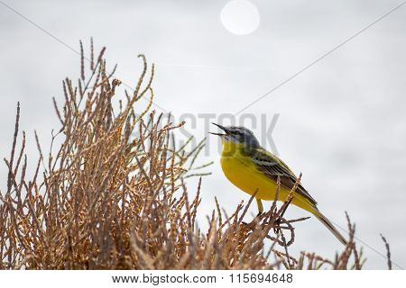Yellow Bird Wagtail Sing At Sunny Day