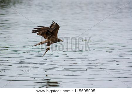 Milvus Migrans. Brown Black Kite Hold Fish After Hunt