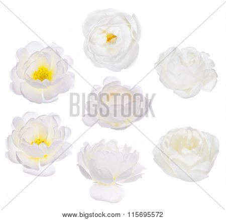 set of brier blooms isolated on white background