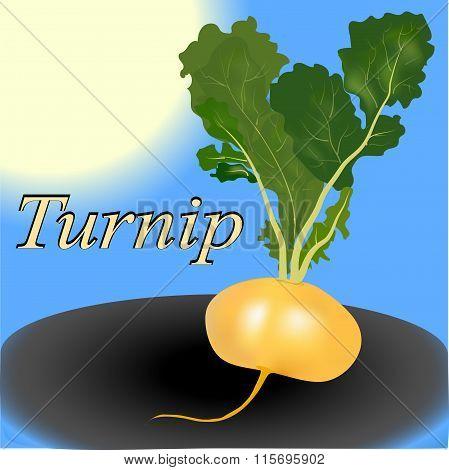 Turnip vegetable vector