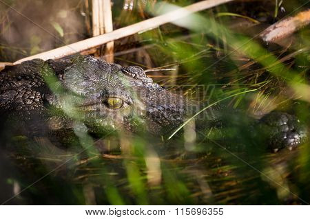 Crocodile in the Okavango delta.