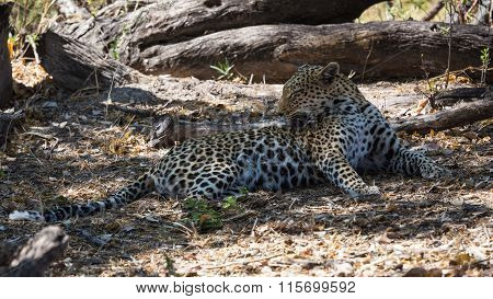 African leopard cleaning its fur