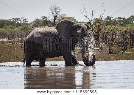 African bush elephant in Okavango delta