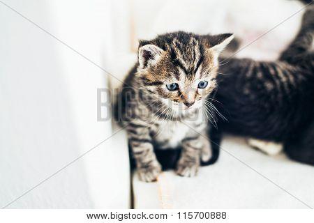 Cute Tiny Little Striped Grey Tabby Kitten