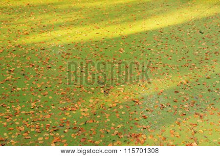 Duckweed Ditch Covered With Autumn Leaves.
