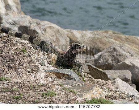 Iguana In The Rocks By The Ocean