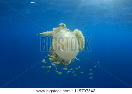 Green Sea Turtle eating large Mosaic Jellyfish