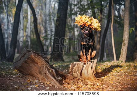 Beautiful Rottweiler dog breed is sitting on a stump in the woods - perform commando host
