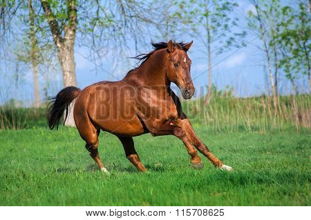 Auburn free horse galloping across a green field on a beautiful background