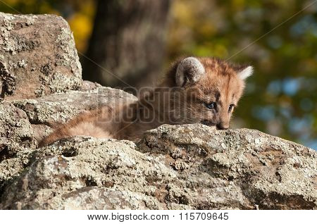 Female Cougar Kitten (puma Concolor) Peeks From Behind Rock
