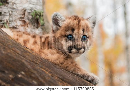 Female Cougar Kitten (puma Concolor) Looks Out