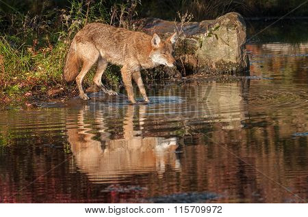 Coyote (canis Latrans) With Reflection