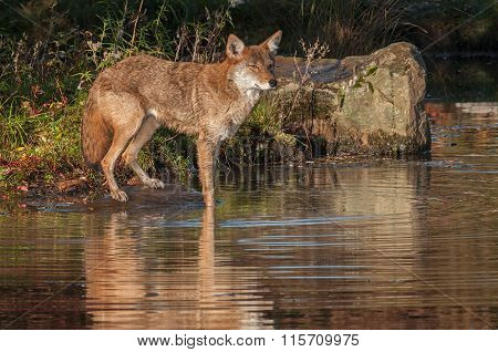 Coyote (canis Latrans) With Front Feet In Pond