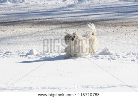 White Dog in Snow