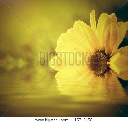 Fresh spring flower in water and sun light. Spa, wellbeing concept. Daisy flower
