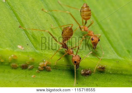 Fire Ants Meeting On Banana Leaf