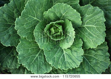 Fresh Green Cabbage In Farm