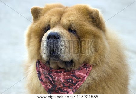 Chow-chow with a scarf on  neck