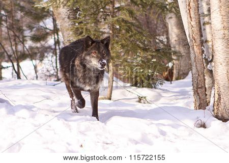 A big black wolf on the hunt for food