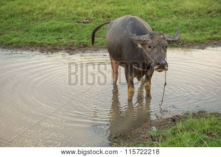 Buffalo defecate in water