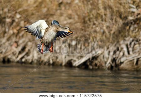 Mallard Duck Coming In For A Landing On The River